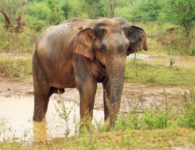Elephant at Udawalawe NP (800x616) (2)