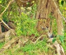 Leopard (800x676)