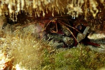 20-06-2020 - Panamic Arrow Crab 3