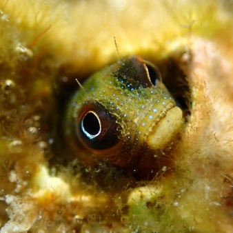 29-06-2020 - Mexican Barnacle Blenny (Green) 3